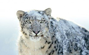 snow-leopard-2